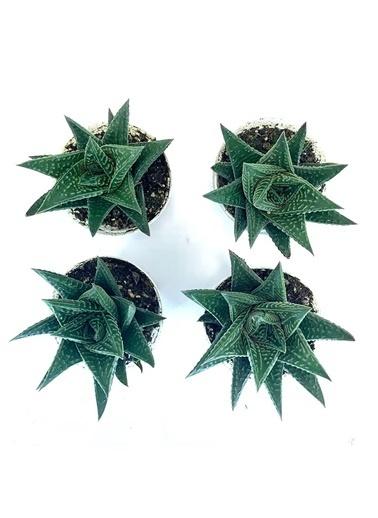 Çiçek Antalya Çiçek Antalya Teraryum Sukulent Kaktüs Haworthia Limifolia 4 Lü Yeşil